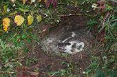 North American Badger (Taxidea taxus) Guards Den - captive animal poster
