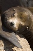 this photo is a closeup of a sea lion resting on a rock. poster