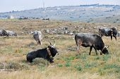 Cows grazing in the meadow. Matera. Basilicata. poster