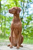 A shot of a Vizsla dog (Hungarian Pointer) sitting on a rock in the woods. poster
