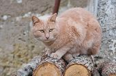 Close up of a ginger cat on logs. poster