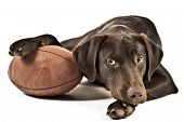 Dog resting his paw on American football. Photo isolated on white background. poster