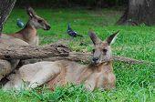 Two Kangaroos Lying on the Grass, Australia poster