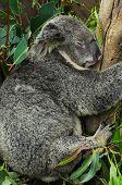 Koala Bear Sleeping on a Eucalyptus Tree poster