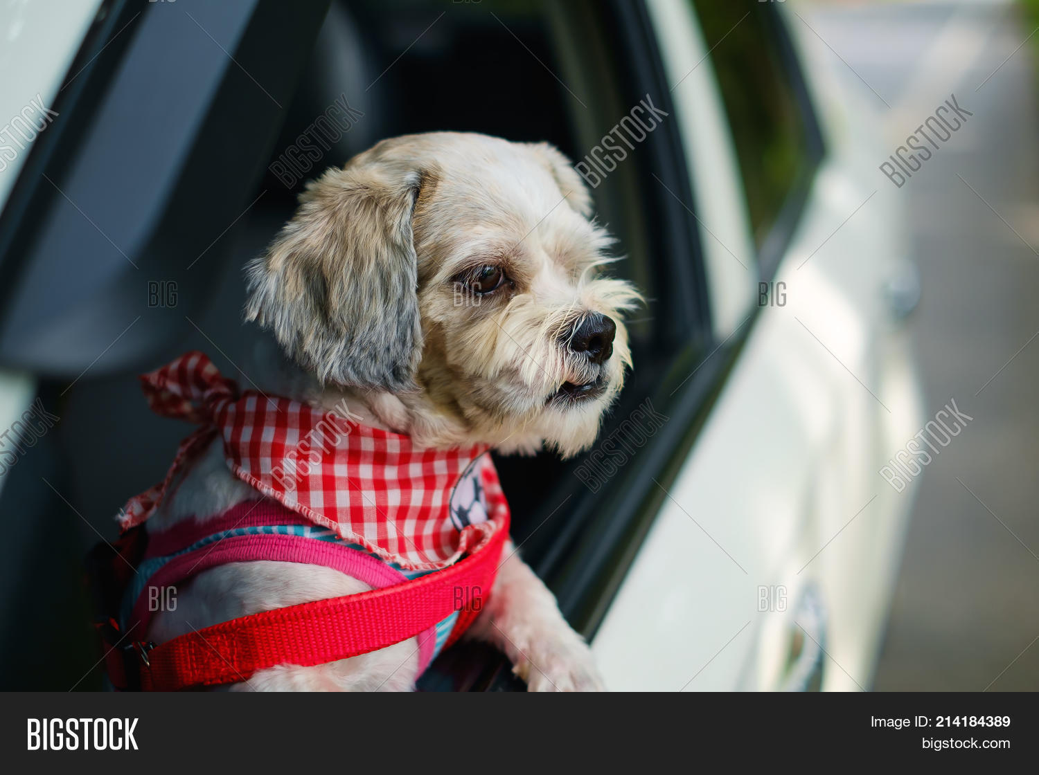 White Short Hair Shih Image Photo Free Trial Bigstock