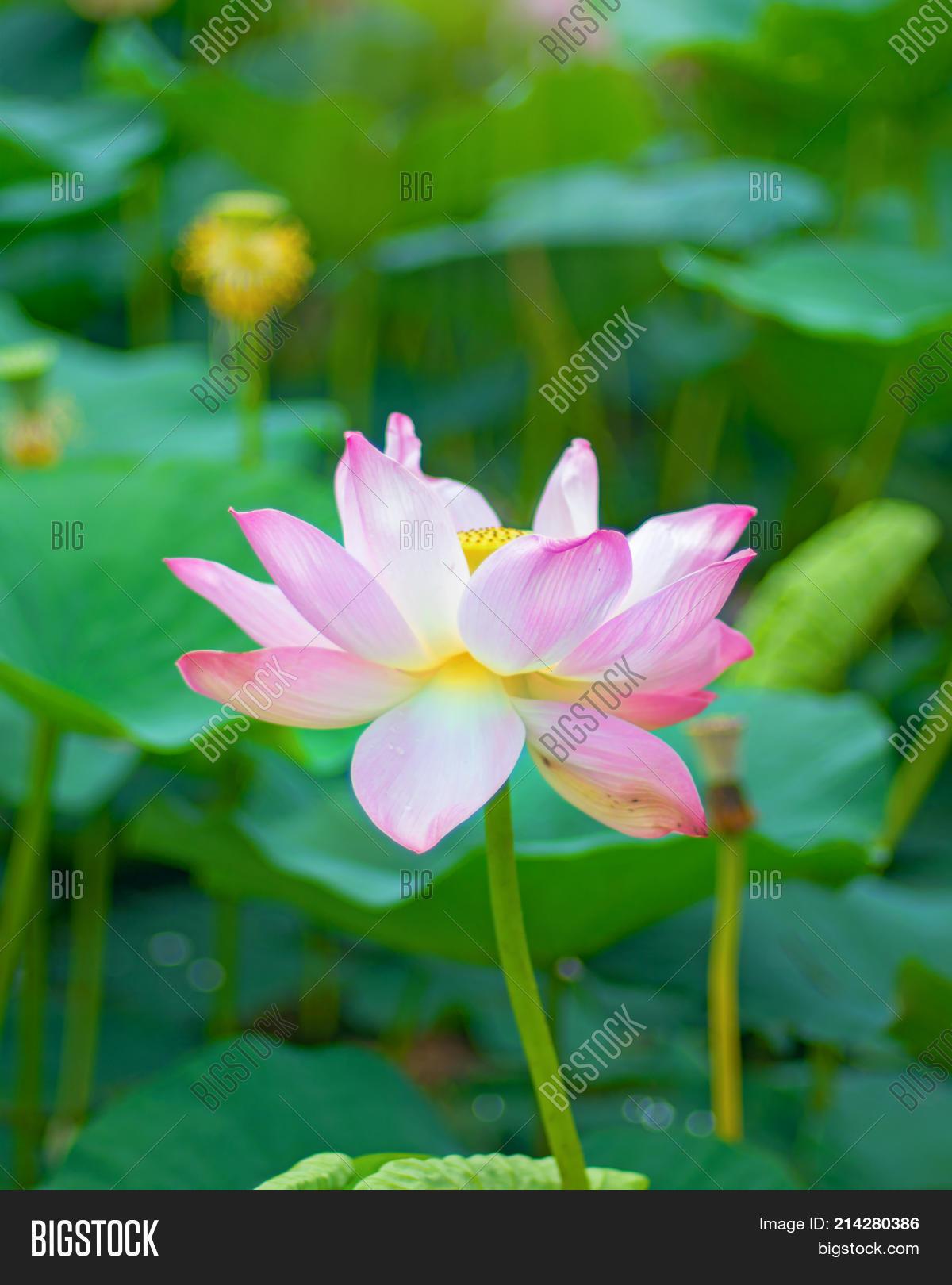 Large Lotus Flowers Image Photo Free Trial Bigstock