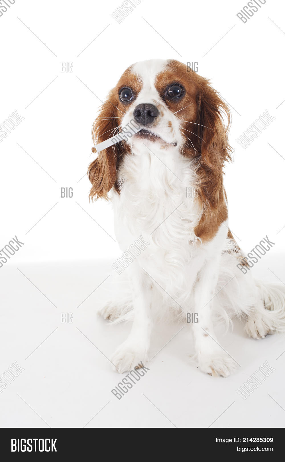 Cool King Charles Canine Adorable Dog - 214285309  You Should Have_43784  .jpg