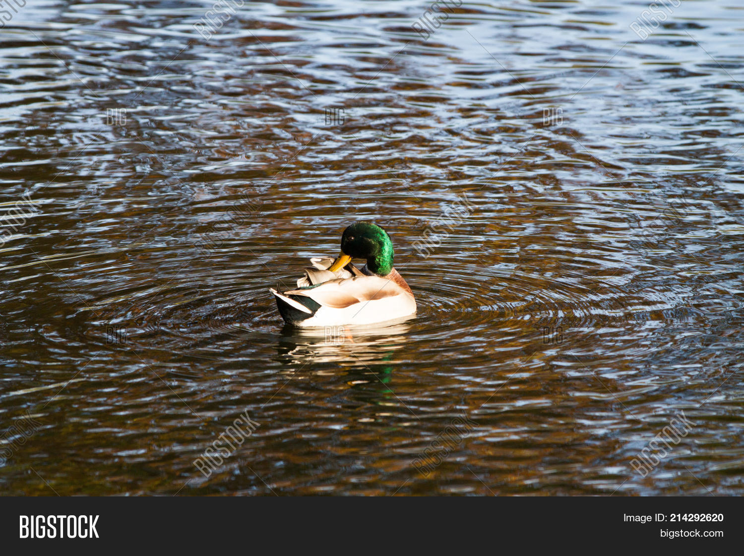 Close- Duck Floating Image & Photo (Free Trial)   Bigstock