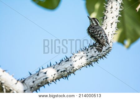Downy Woodpecker sits on a branch. Little striped tiger bird