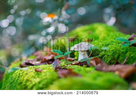White agaric. Fly agaric. Poisonous mushroom growing in forest. amanita. Pure poison.