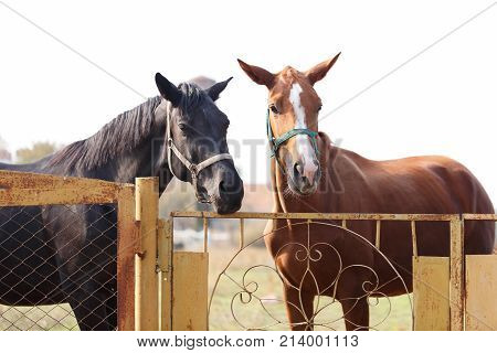 Two fine horses, brown and black, stand on the fence near the gate. Outdoors.