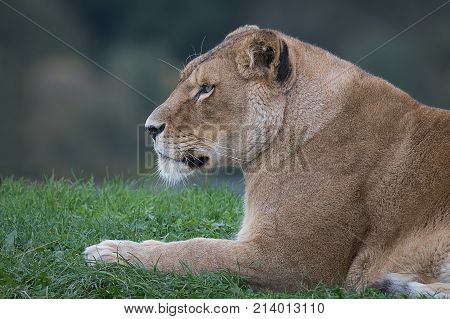 A close up half length portrait in profile of a lioness lying on grass staring to the left in an alert inquisitive way