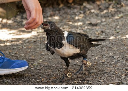 Young African Pied Crow bird biting a people (Corvus albus)