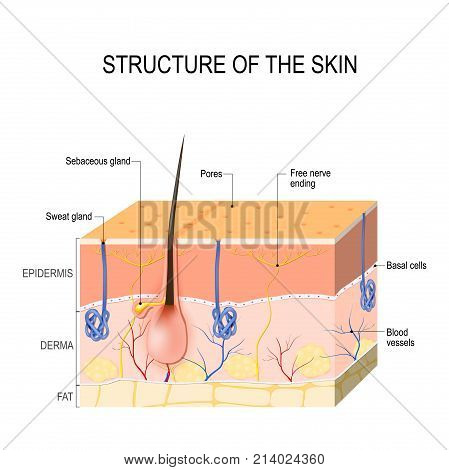 Structure of the skin. Skin layers with blood vessel free nerve ending pores and glands (sebaceous and sweat glands). Human anatomy