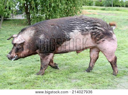 Domestic Pig Run Across Summer Pasture