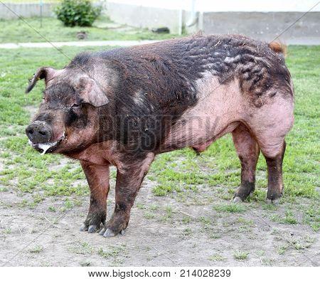 Male Pig Head Shot On Pasture