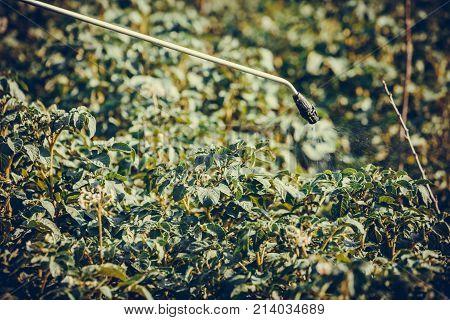 Spraying Leaves Of Potatoes