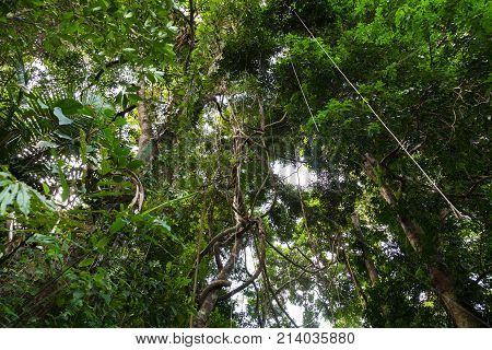 Lianas dangling and sunlight from the rainforest canopy in phuket thailand