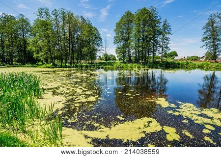 A swamp in nature with trees on the shore of duckweed on the water and reflections