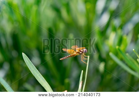 Wandering Glider Dragonfly perched on a blade of grass- Pantala Flavescens