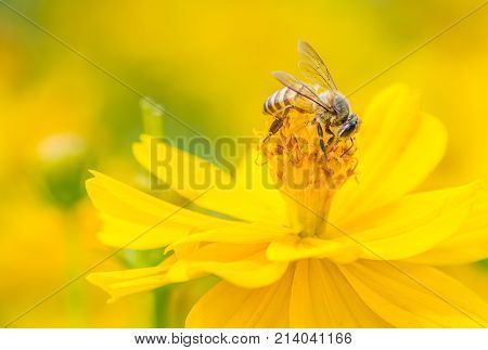 Macro Bee On Yellow Wild Flower. Yellow Golden Tone Image.