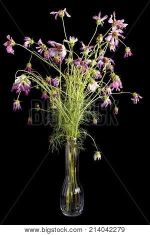 Dying pink and purple cosmos flowers in a vase on black background