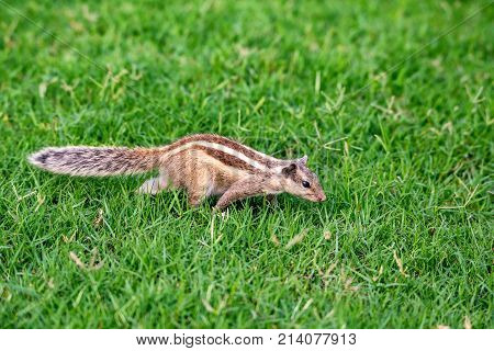 Close-up of Northern palm squirrel