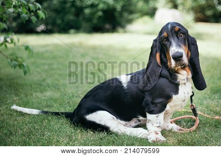 Young Tricolor basset hound puppy sitting in the garden on a summer's day looking sad