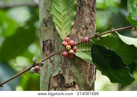 Bali green organic red coffee plant tree