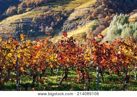 Close Up Of Grape Vine With Autumnally Discolored Leaves