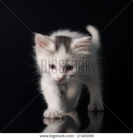White and fluffy kitty isolated on balck background poster