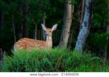 White-tailed deer fawn walking in the forest in spring