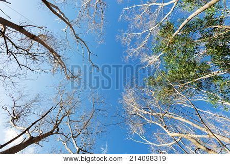 Dry tree or dead tree branches on blue sky background