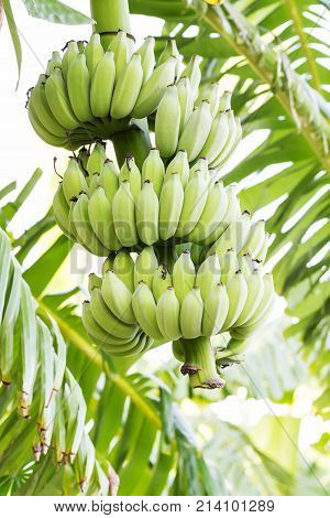 Unripe Bananas On Tree In The Jungle