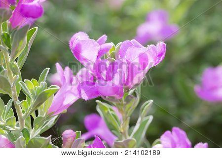 Barometer bush or ash plant flowers. a scientific name is Leucophyllum frutescens