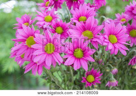 Chrysanthemum flowers with bokeh background., pink flower