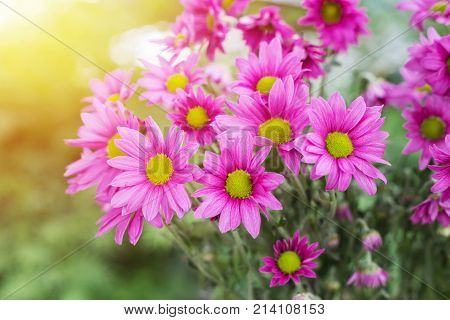 Chrysanthemum flowers with bokeh background with morning light