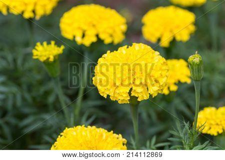 Beautiful marigold flowers in the garden. yellow flower