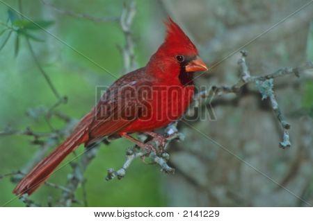 Northern Cardinal   169 J