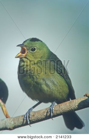 Painted Bunting   136 J
