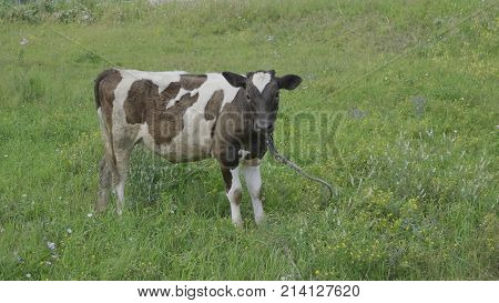 Young bull-calve grazes on the green field slow motion