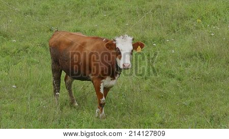 Young bull-calve grazes on the green field