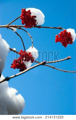 red guelder-rose in snow against the background of the blue sky