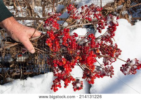 The male hand holds branches with a red guelder-rose