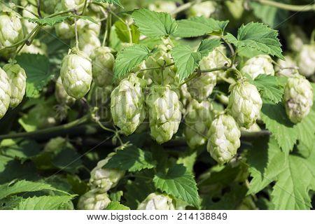 Pineal fruit of common hop (Humulus lupulus)