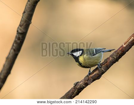 Great Tit Pearched On A Branch, Natural Golden Background