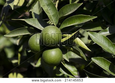 Orange tree with fruits ripen in the garden