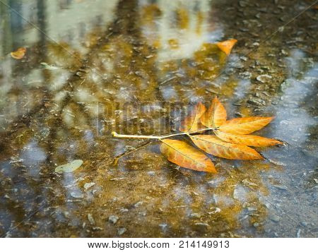 fallen leaves in a puddle of rainwater on an autumn day