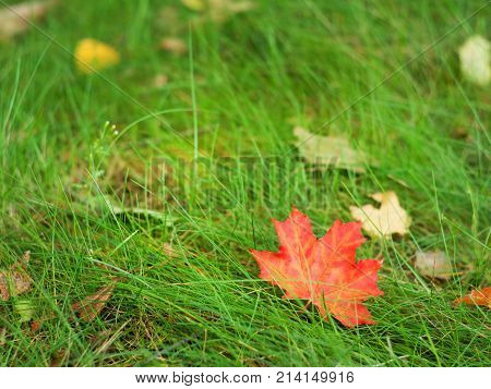 fallen maple leaf in the green grass