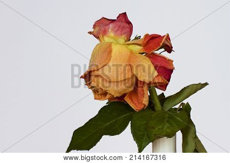 A wilted orange rose in a white vase.